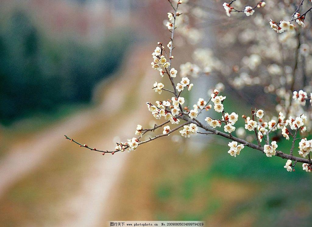 樱花 乡间小道 大自然美 摄影 自然景观 自然风景 摄影图库 72dpi jpg