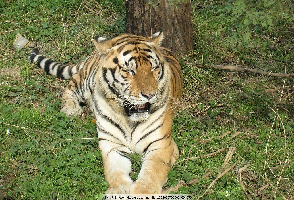 东北虎 大连 狮虎园 生物世界 野生动物 摄影图库