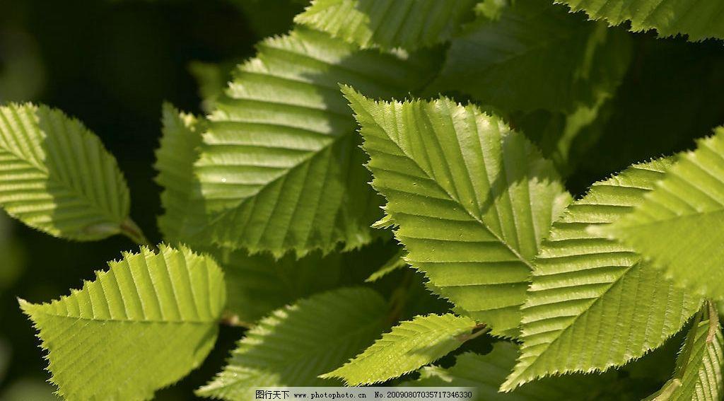 绿色树叶 植物 树叶 绿色 叶纹 叶脉 青绿 生物世界 花草 摄影图库 72