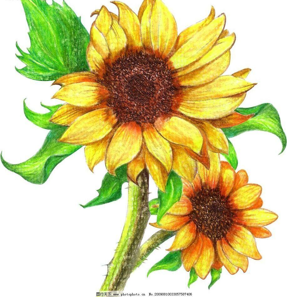 手绘向日葵花图片