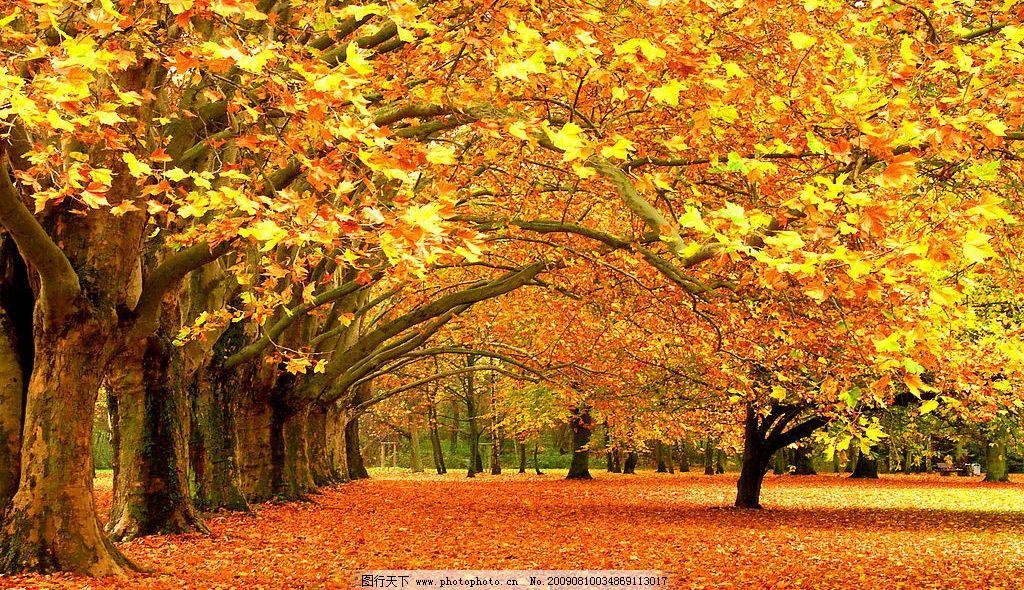 高清自然风景 高清风景图片 自然风光 大自然 枯树 黄色树叶 秋天落叶