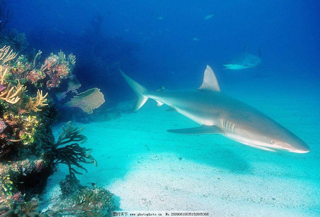 海洋生物 沙鱼 珊蝴礁石 海底游泳 海底世界 鱼类 摄影图库
