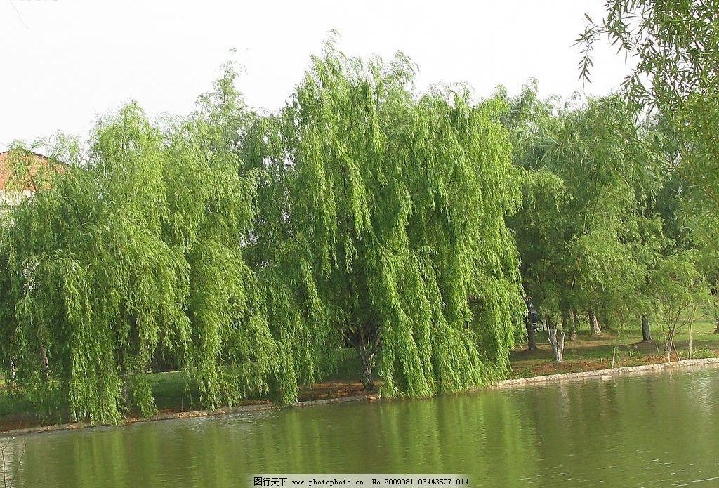 柳伴河 高清晰的 摄影 河畔柳树图片 自然景观 山水风景 摄影图库 180