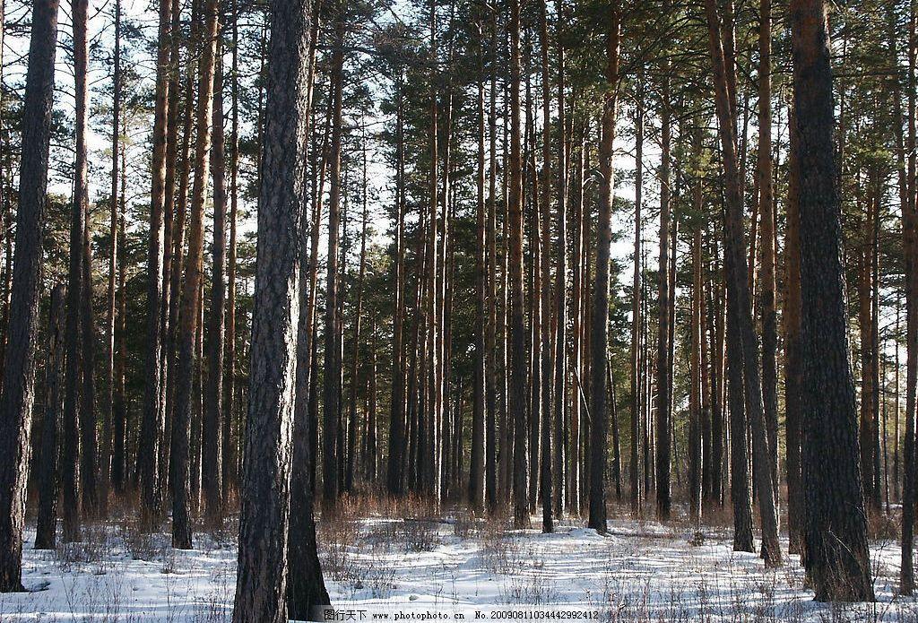 原始樟子松林图片