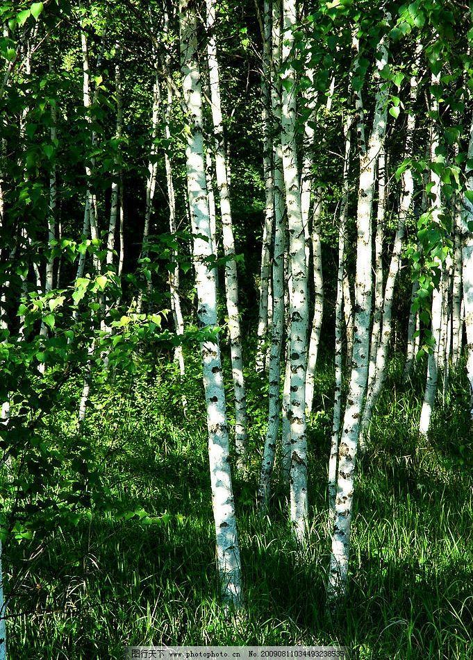 黑桦林 树木 桦树 树林 黑桦 木 自然景观 山水风景 摄影图库 300dpi
