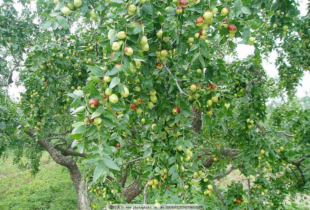 红枣情 红枣树 自然景观 田园风光 摄影图库 72dpi jpg