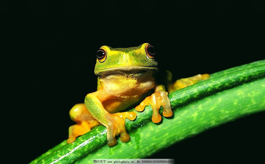 青蛙 绿色 等待 绿叶 生物世界 野生动物 摄影图库 72dpi jpg