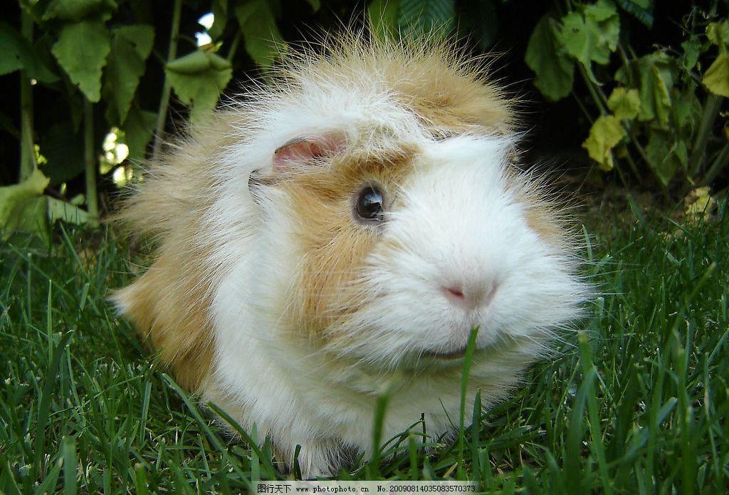 紧张 大眼睛 楚楚可怜 趴着 毛 棕黄色 大脸老鼠 生物世界 野生动物