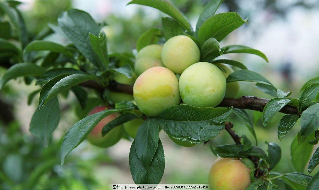 李子 李子树 果实 叶子 绿叶 水珠 成熟 果树 水果 诱人 生物世界
