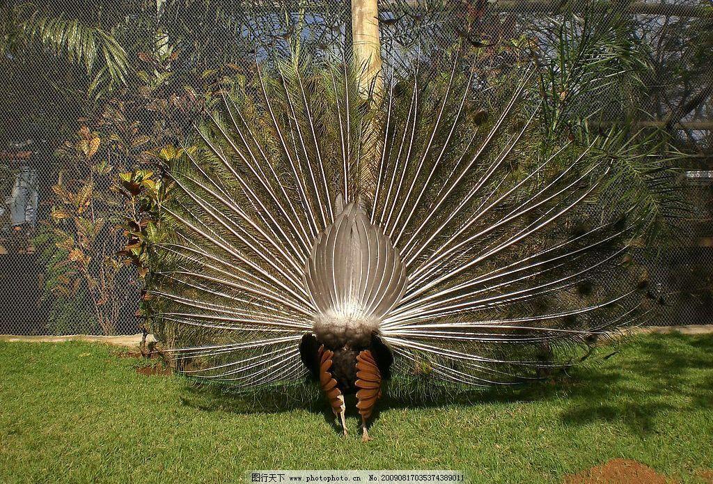 孔雀开屏 动物园 爱现的 孔雀 开屏 背面 鸟类 绿地 求偶 生物世界