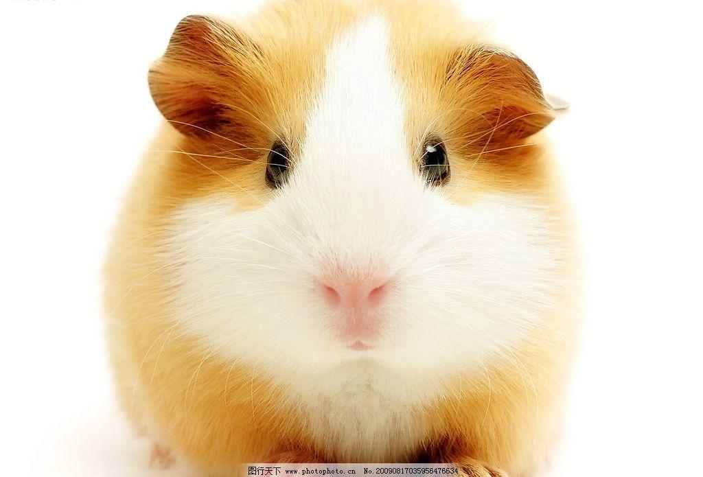 小仓鼠 鼠 宠物 仓鼠 生物世界