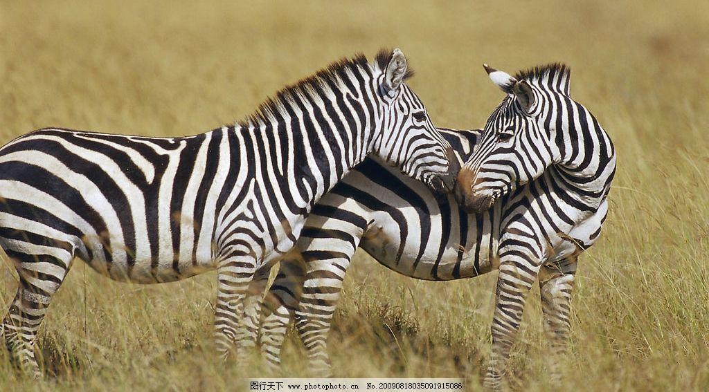 斑马 野生 大草原 生物世界 野生动物 摄影图库 300dpi jpg