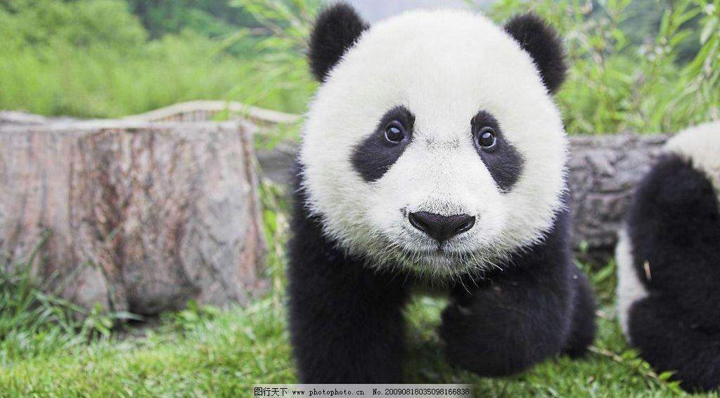 大熊猫 生物世界 野生动物 摄影图库