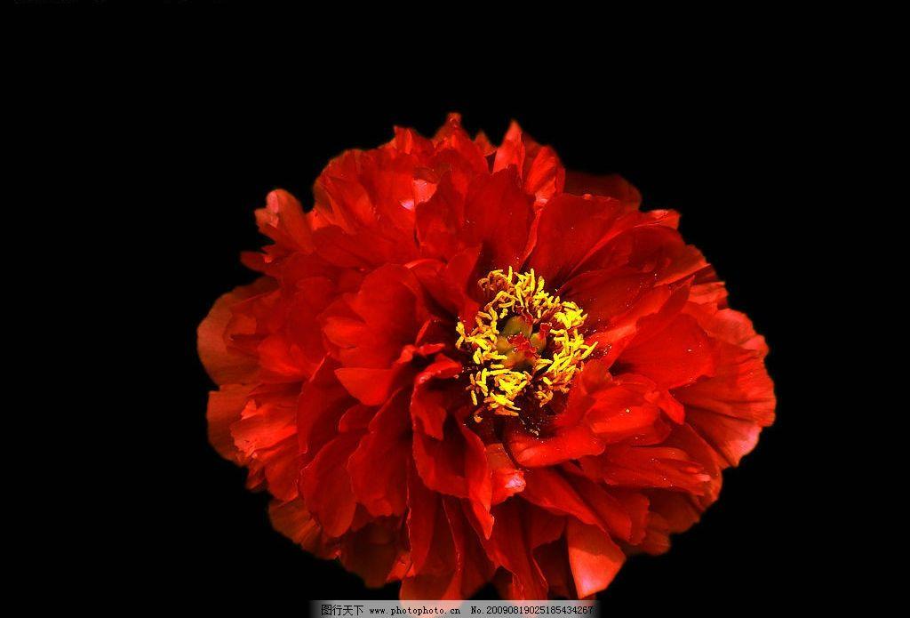 牡丹花 黑色背景 生物世界 花草 设计图库 72dpi jpg