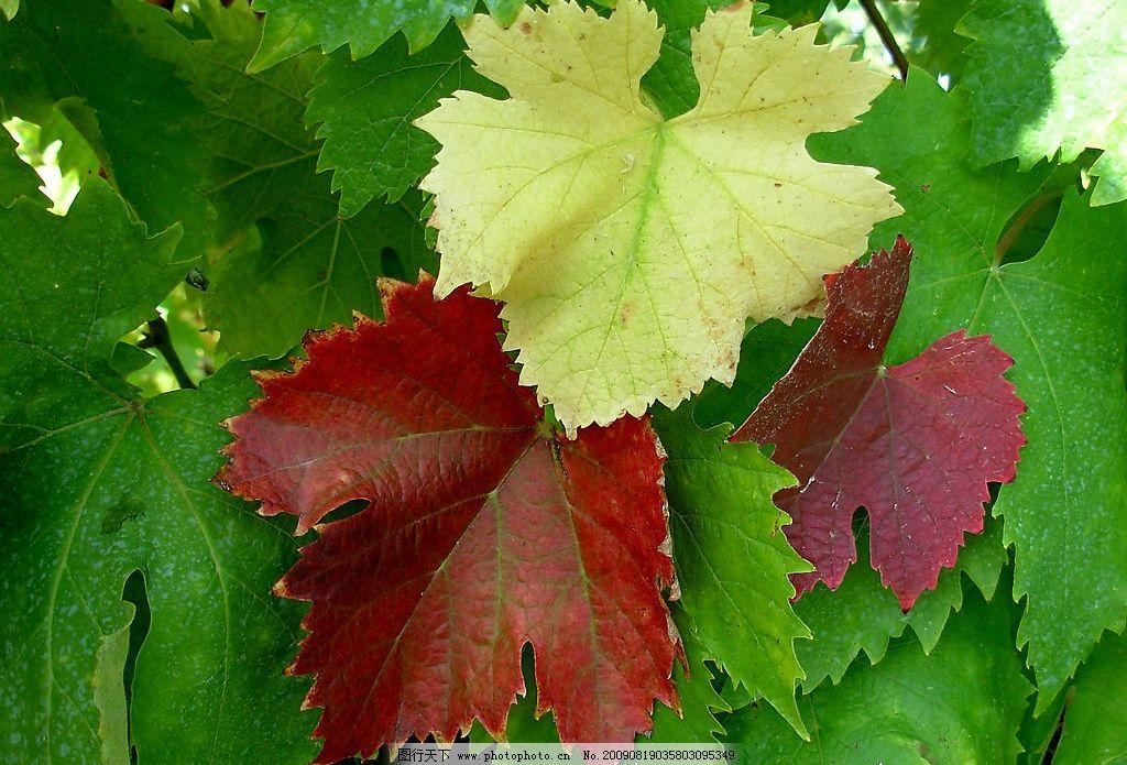 葡萄叶 绿色 红色 葡萄酒 红酒 叶子 绿叶 红叶 生物世界 树木树叶