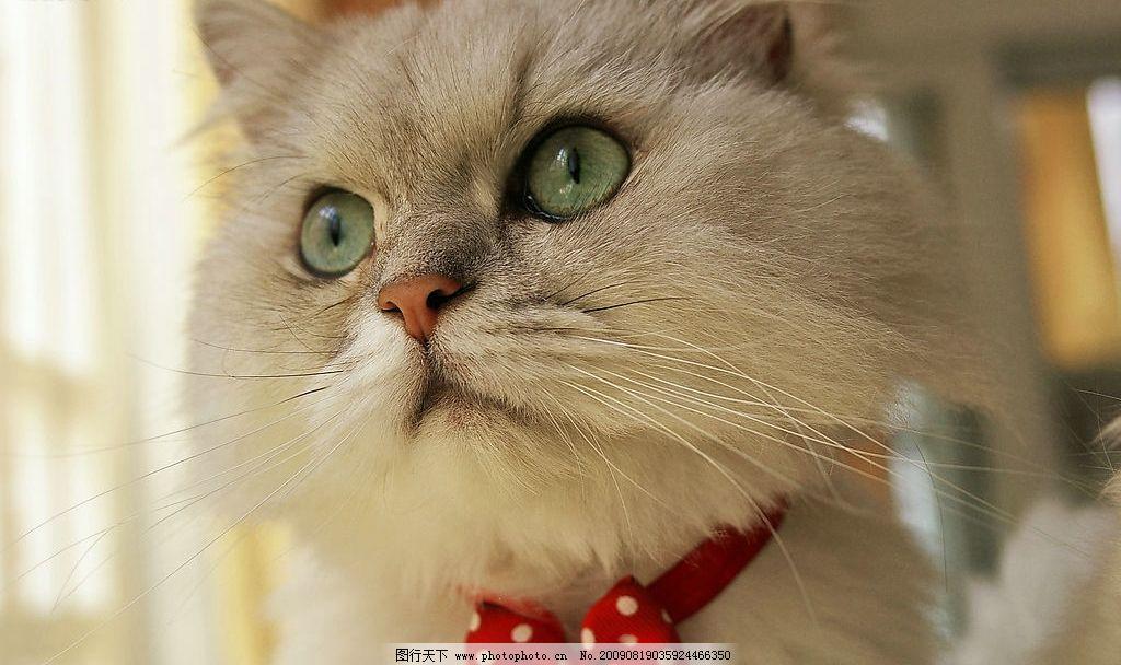 猫咪 白色 可爱 蹲坐 毛茸茸 乖巧 宠物 摄影图库