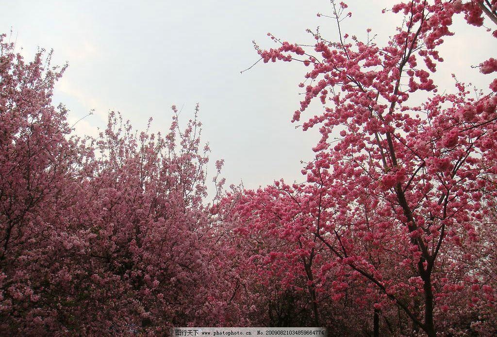 樱花盛开 云南 昆明 圆通山动物园 樱花 自然景观 自然风景 摄影图库