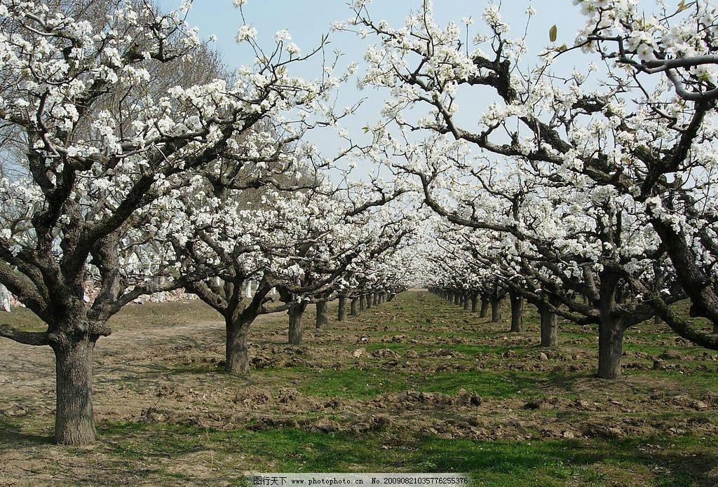 梨树 梨花 春天 梨树林 梨树行 雪白梨花 果树 美丽风景 生物世界