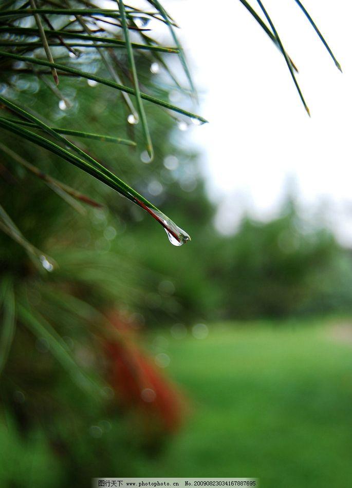 雨后枝头露 风光 绿色 植物 松树 树枝 露珠 清晨 早晨 自然风景 旅游
