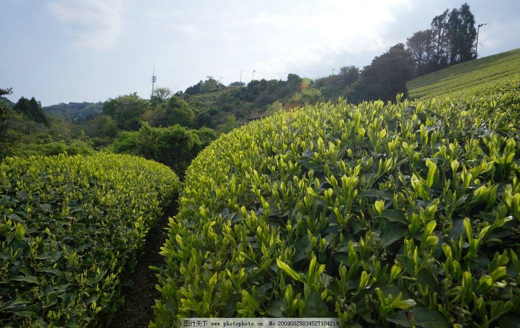 设计图库 自然景观 田园风光  茶园 大自然 景观 景象 生物 植物 天空