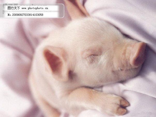 可爱的小猪免费下载 摄影图 图片素材 可爱的猪 睡觉的小猪 摄影图