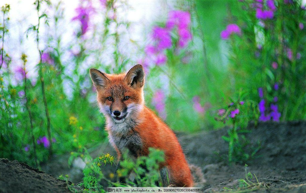 火狐狸 火红色 野生动物 生物世界 摄影 350dpi jpg