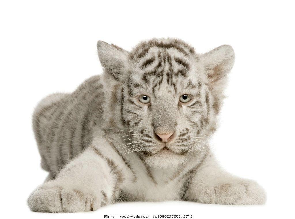 幼虎 小老虎 动物 野生动物 生物世界 摄影 300dpi jpg