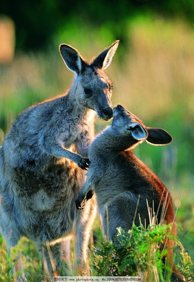 袋鼠 袋鼠母子 野生动物 生物世界 摄影