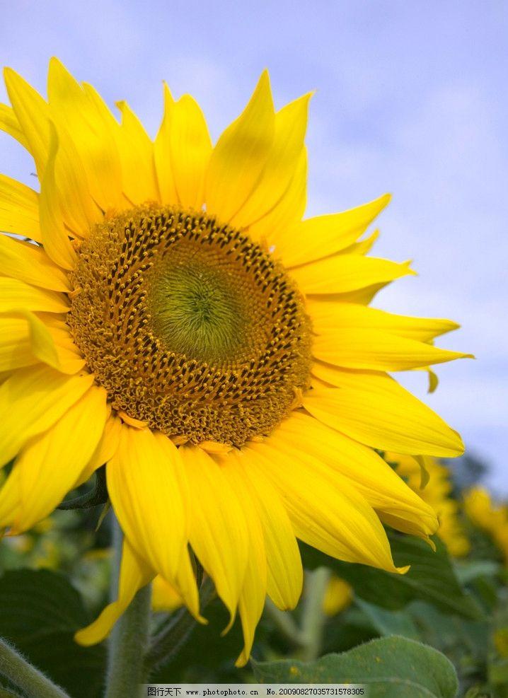 太阳花 大自然 景观 景象 生物 植物 天空 云彩 花草 花卉 树叶 生物