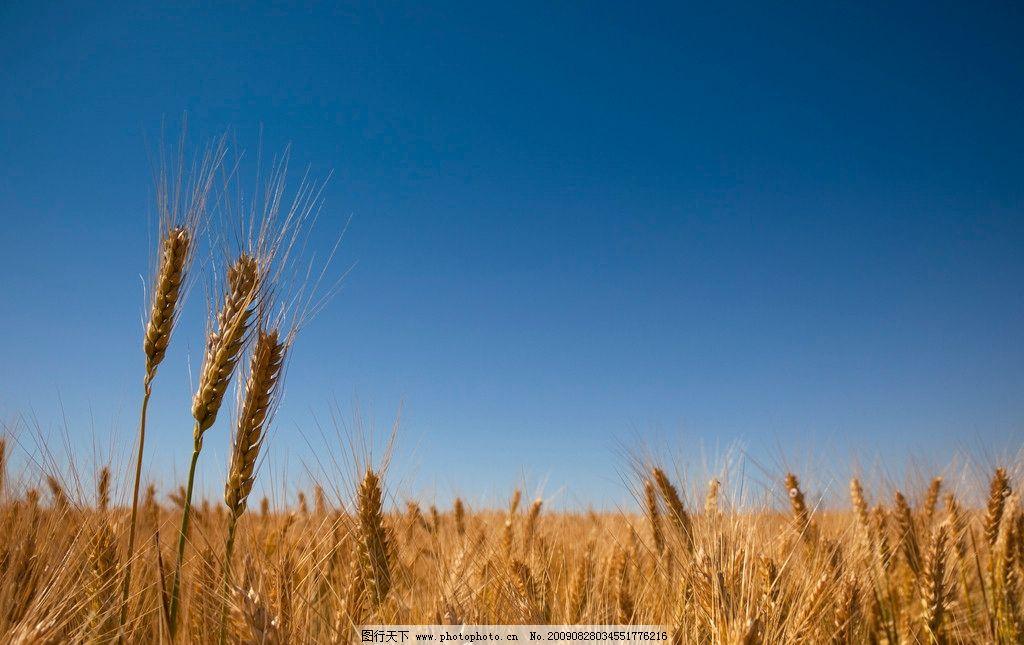 高清晰麦穗 麦田 麦穗特写图片 麦田风光 风景图片 高清图片素材
