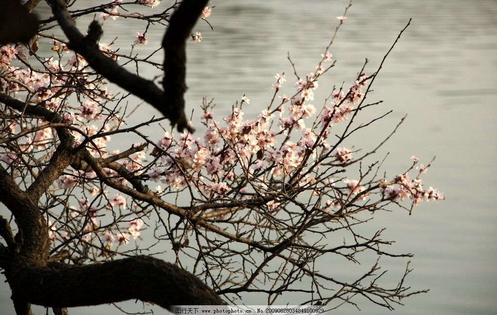 桃花 春色 园林 水色 虬枝 粉色 春天 素材 自然风景 自然景观 摄影 3