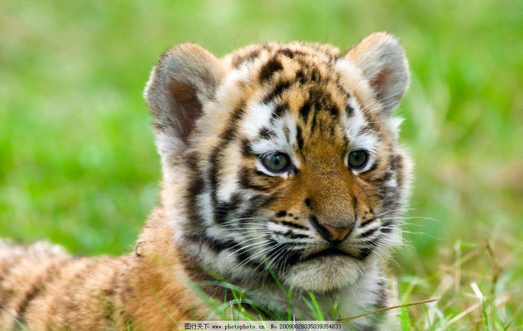 老虎 动物 野生动物 生物世界 摄影 300dpi jpg