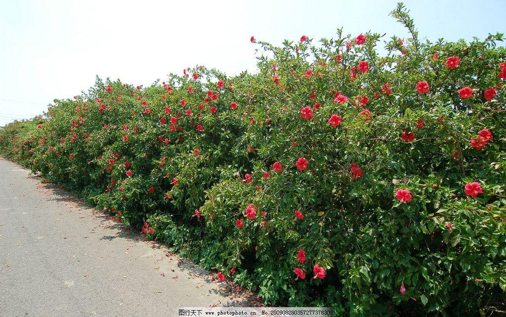 朱槿花 大自然 景观 景象 生物 植物 天空 云彩 田野 道路 花草 花卉