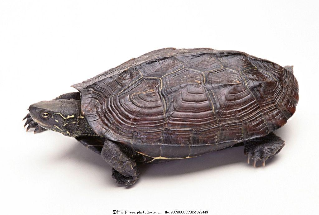 乌龟 野生龟类图片