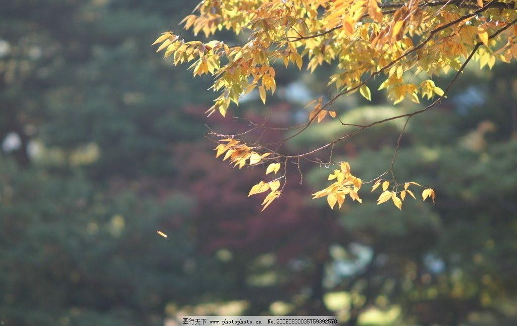 落叶 枫树 枫叶 金秋 黄色 植物花草 生物世界 摄影 72dpi jpg