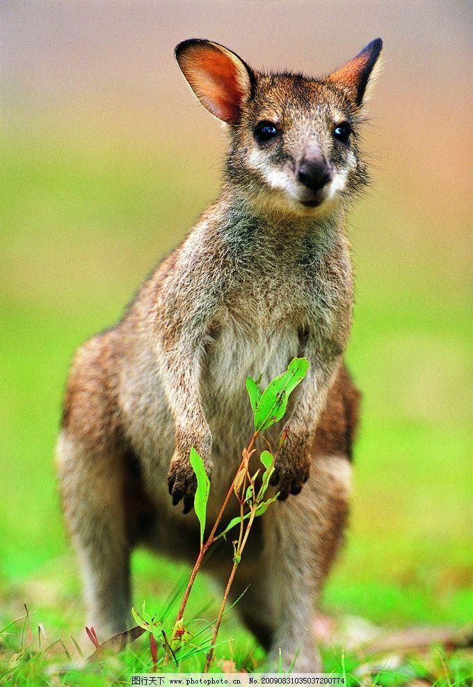 袋鼠 小袋鼠 观望 野生动物 生物世界 摄影