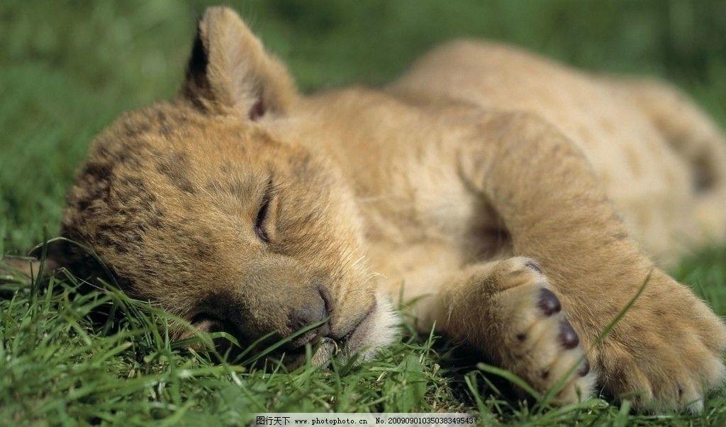 睡觉的小狮子图片