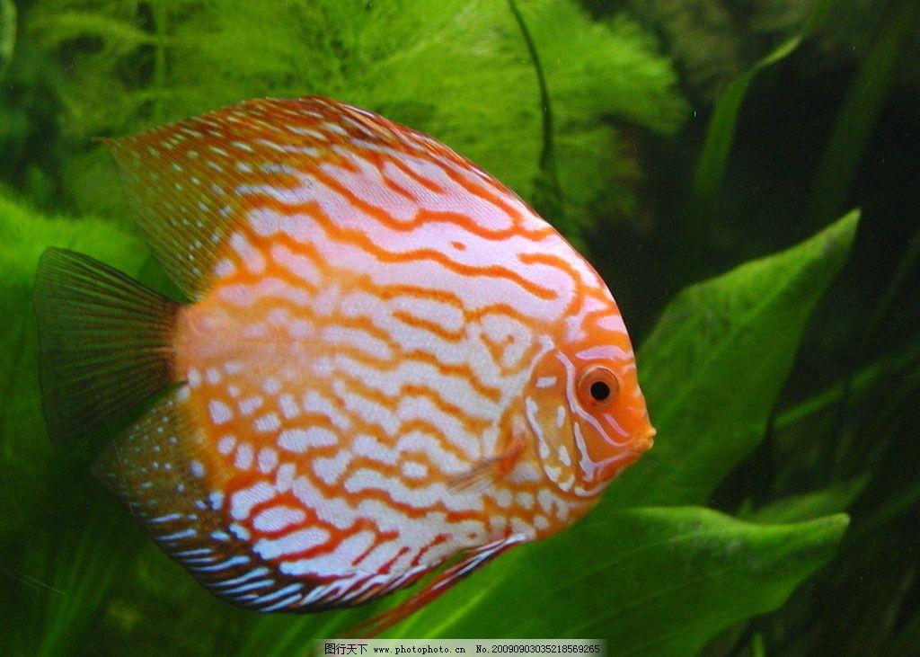 热带鱼 鱼草 红鱼 花纹鱼