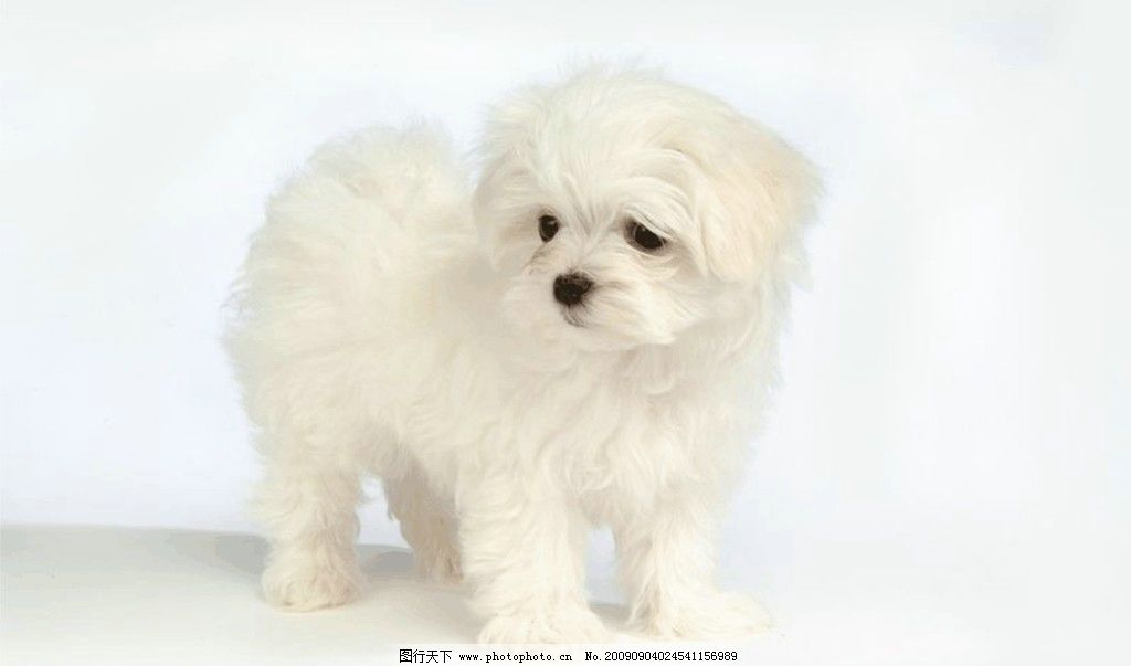 狗狗 白色狗狗 可爱 无背景