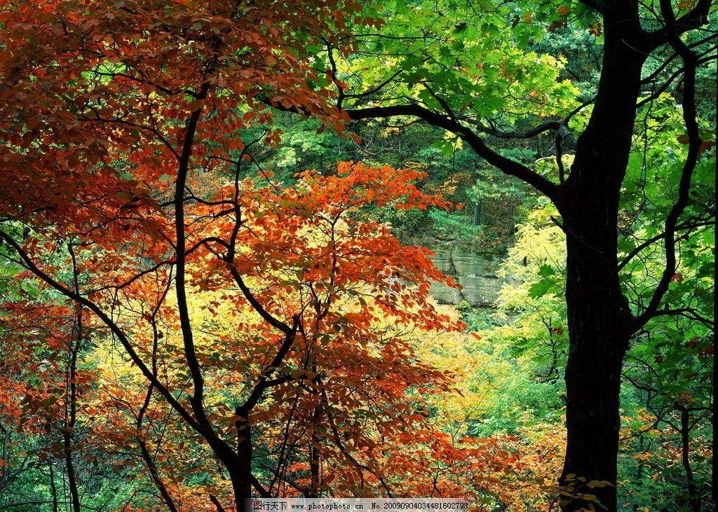 枫叶 桌面 风景 旅游 山水风景 自然景观 摄影 72dpi jpg