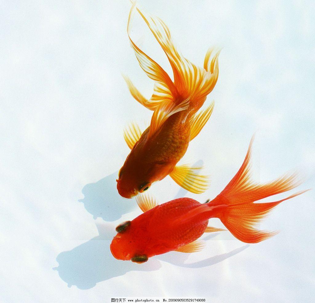 两条小金鱼图片_鱼类_生物世界