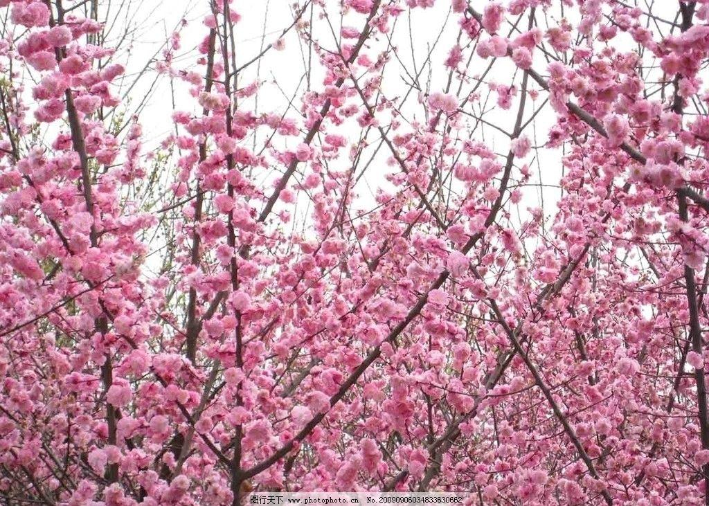 桃花 春天 风景 自然 美丽 摄影