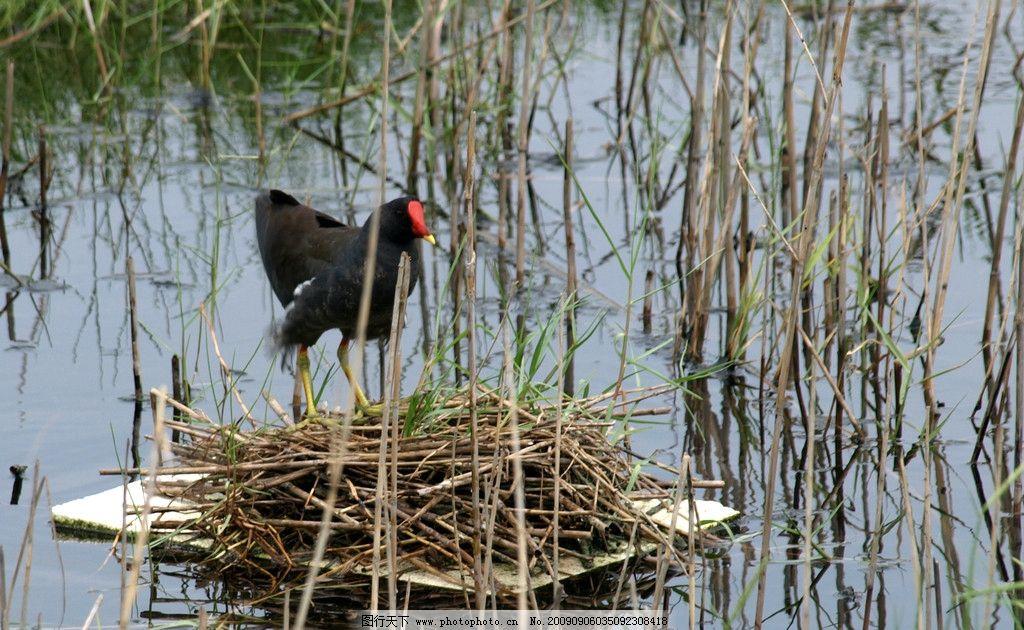 红冠水鸡 大自然 景观 景象 生物 湖泊 池埤 花草 树枝 动物