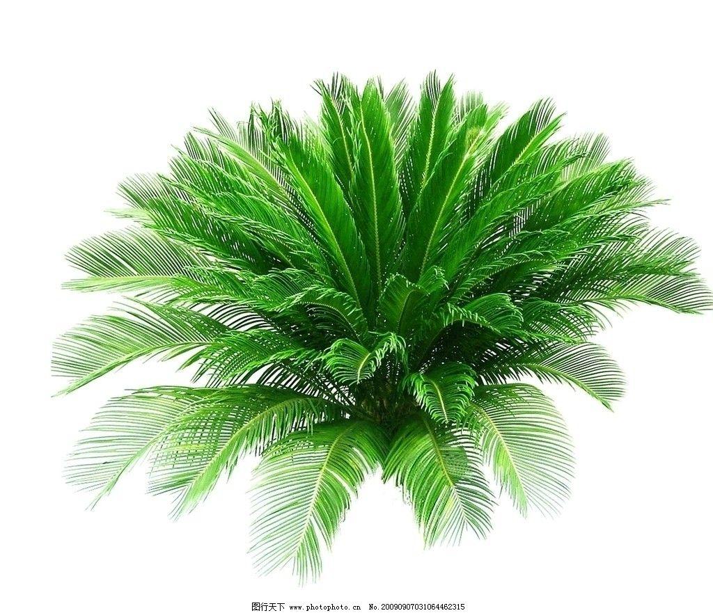 植物铁树图片