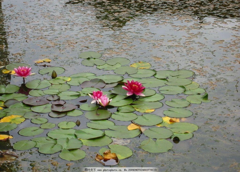 小池一角 荷花 荷叶 祥和 自然风景 自然景观 摄影 180dpi jpg