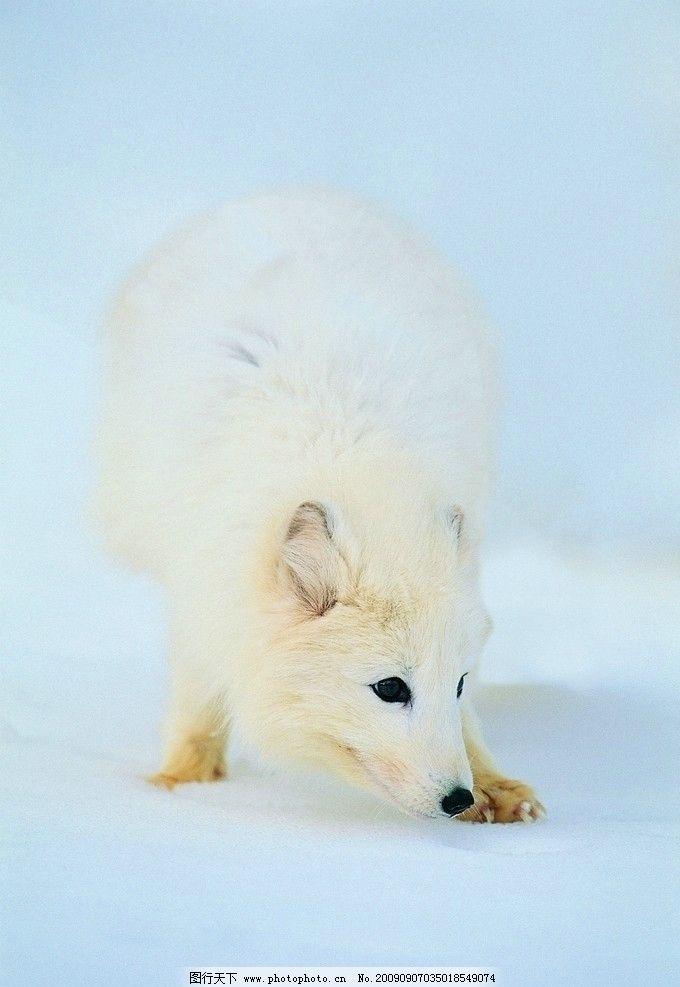 南极 狼 野生动物 生物世界 摄影