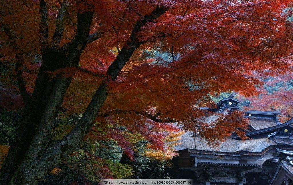 金秋 红叶 枫树林 金黄 蓝天 秋天 秋高气爽 林中寺院 自然风景 自然