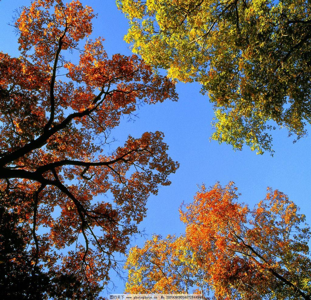 秋天的树叶 枫叶 风景 摄影