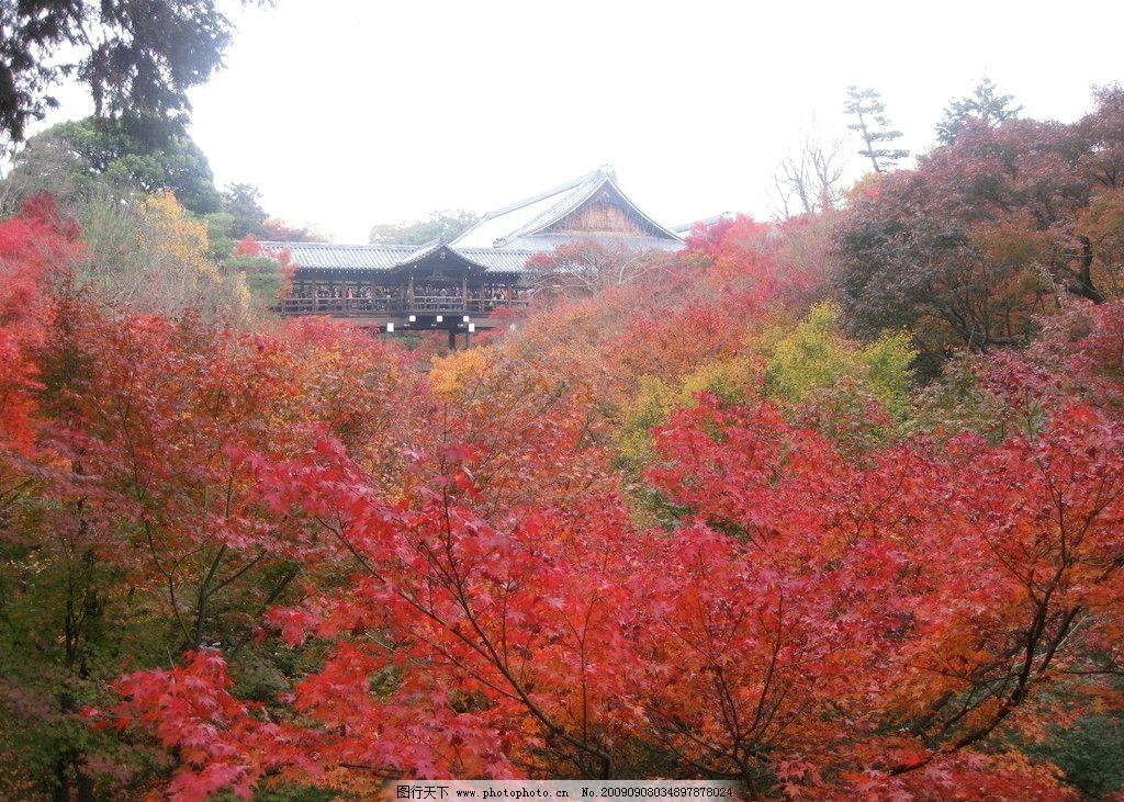 金秋红叶 枫树林 金黄 蓝天 秋天 秋高气爽 自然风景 自然景观 摄影