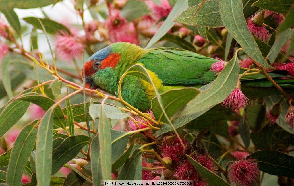 鹦鹉/红耳绿吸蜜鹦鹉图片